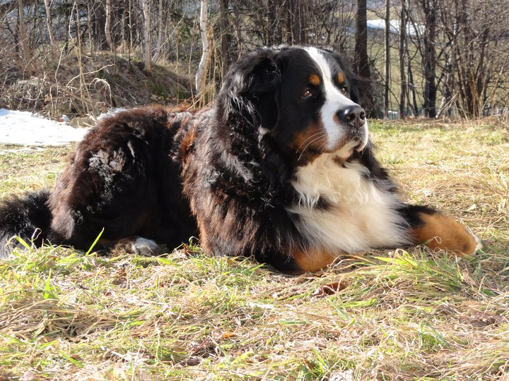 Bernese Dog Rescue Colorado